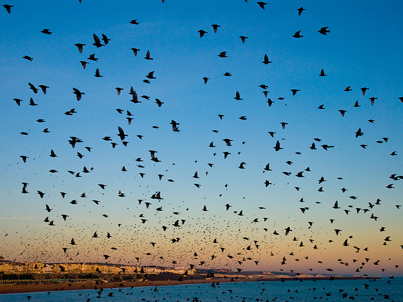 Starlings at Brighton